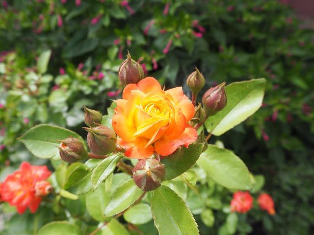Do Roses Like Coffee Grounds